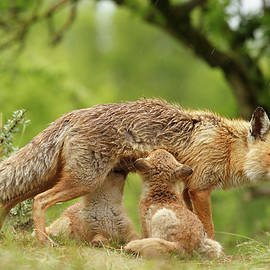 Roeselien Raimond - Happy Moments - Mother fox suckling her fox kits