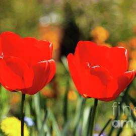 Chris Christoforou - Happy Tulips