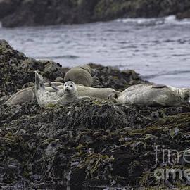 Tim Moore - Harbor Seals Awake