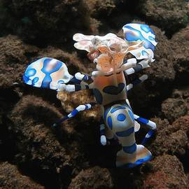 Sergey Lukashin - Harlequin Shrimp