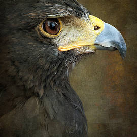 Debi Boucher - Harris Hawk