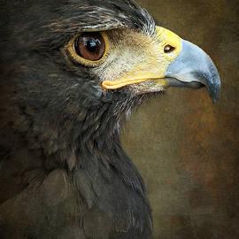 Debi Boucher - Harris Hawk