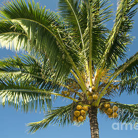 Sharon Mau - Hawaiian Coconut Palm Tree