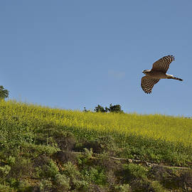 Linda Brody - Hawk Flying over Field of Yellow Mustard
