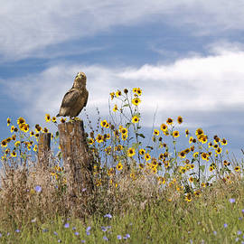 Matthew Schwartz - Hawk in Field of Wildflowers