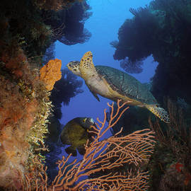 Brent Barnes - Hawksbill Turtle and Angelfish