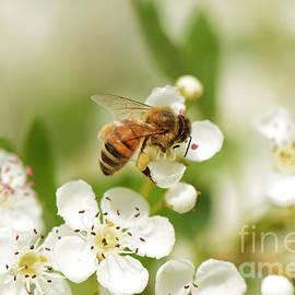 Moira Rowe - Hawthorn Blossom and Honey Bee