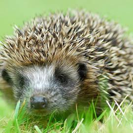 Gavin MacRae - Hedgehog