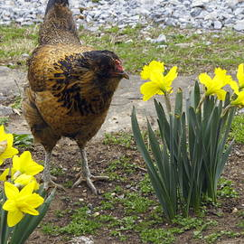 Hen and Daffodils