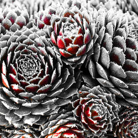Tom Druin - Hens And Chicks...succulent Plants