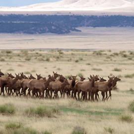 Jeff  Swan - Herd of Elk