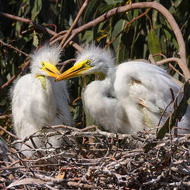 Kathleen Bishop - Heron Babies in their Nest