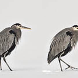 Priscilla Burgers - Heron On the Move