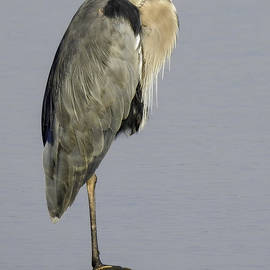Lauchner Photography - Heron Standing