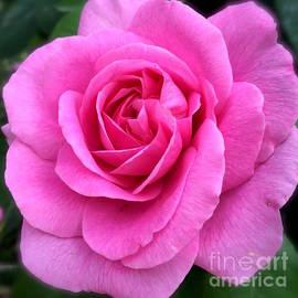 Wonju Hulse - Hot pink rose