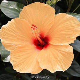 Jeannie Rhode Photography - Soft Yellow Hibiscus