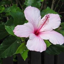 Nancy Pauling - Hibiscus