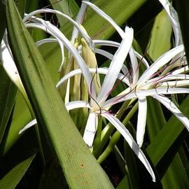 Rosalie Scanlon - Hidden Swamp Lily