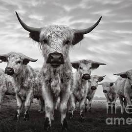 Rawshutterbug - Highland Cattle Mixed Breed Mono