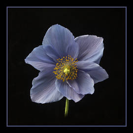 Robert Murray - Himalayan Blue Poppy
