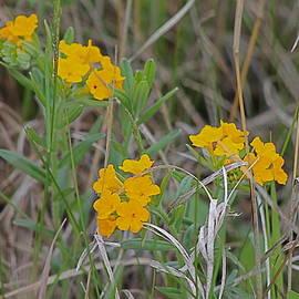 Wayne Williams - Hoary Puccoon Flowers