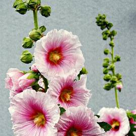 Sarah Loft - Hollyhocks in Schierstein 3