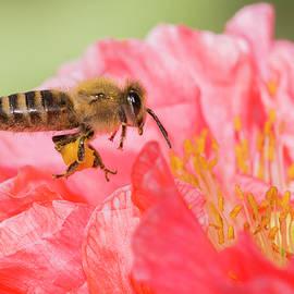 Mircea Costina Photography - Honey Bee in Flight