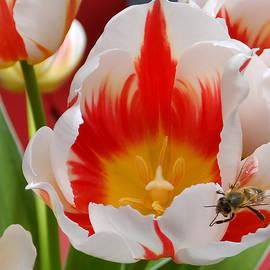 Lyn  Perry - Honeybee and Tulip