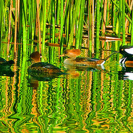 Dorothy  Pugh - Hooded Merganser Family