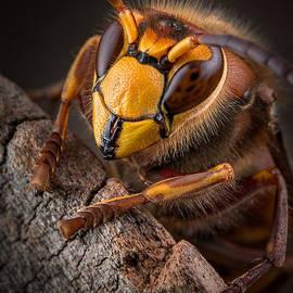 Marco Fischer - Hornet Face