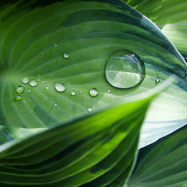 Mo Barton - Hosta With Raindrops and Sunlight 1