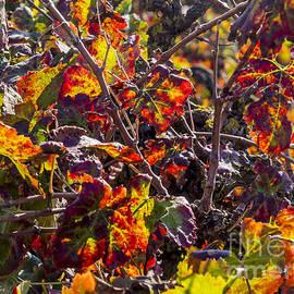 Arik Baltinester - Hot autumn colors in the vineyard 03