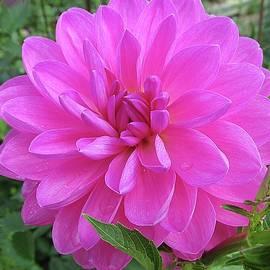 Monnie Ryan - Hot Pink Dahlia