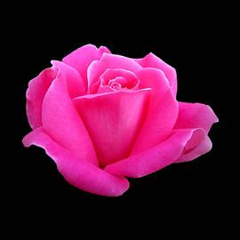 MTBobbins Photography - Hot Pink Rose on Black