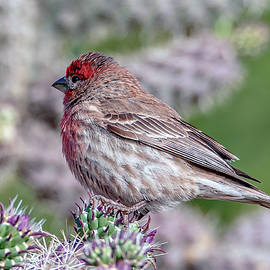 Tam Ryan - House Finch Male