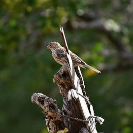 Linda Brody - House Finch Sitting on Piece of Dead Tree