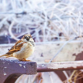 Gregory DUBUS - House sparrow bird cold in winter