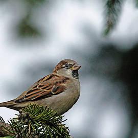 Debbie Oppermann - House Sparrow