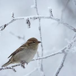 Jestephotography Ltd - House Sparrow in Hoarfrost
