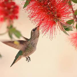 Penny Meyers - Hovering Hummingbird