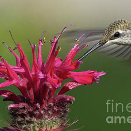 Robert E Alter Reflections of Infinity - Hummingbird and Bee Balm