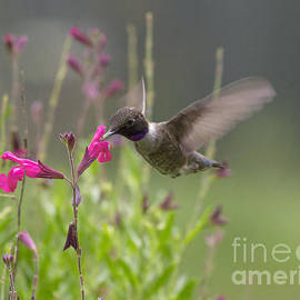 David Cutts - Hummingbird and Sage