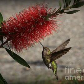 Hummingbird and the Bottlebrush