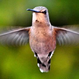 Hummingbird Anna