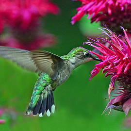 Rodney Campbell - Hummingbird Gathering Nectar