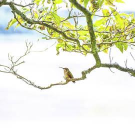 Hummingbird I Square