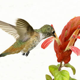 Phil Stone - Hummingbird in the flower