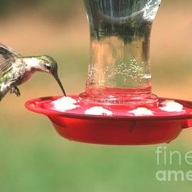 Stacy C Bottoms - Hummingbird