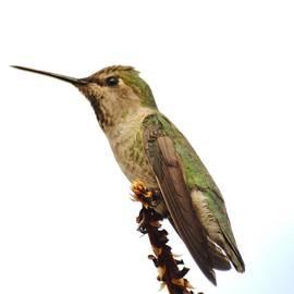 Hummingbird waiting for sunset