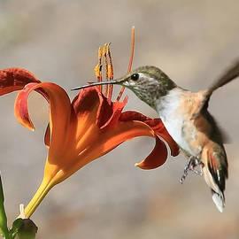 Carol Groenen - Hummingbird Whisper